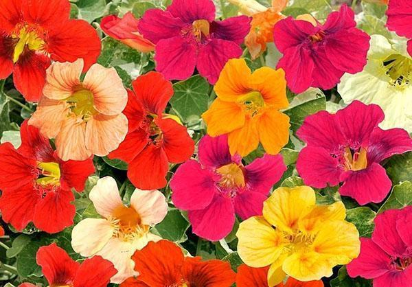 цветет настурция
