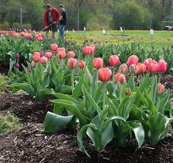 цветут тюльпаны