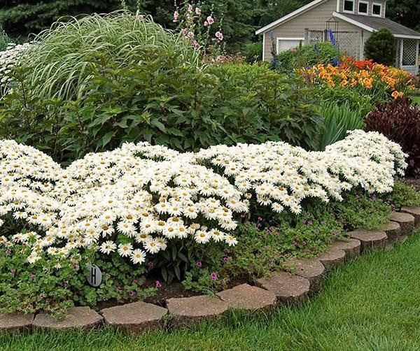 дружное цветение ромашки садовой на клумбе
