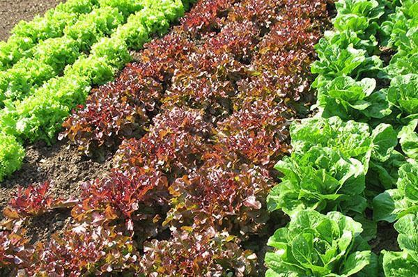 хороший урожай салата