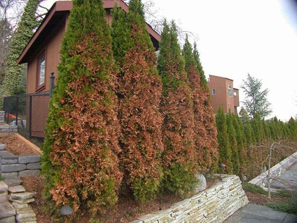 коричневая хвоя туи после зимы