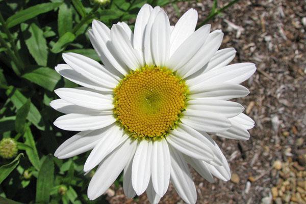 Ромашка садовая многолетняя - посадка и уход, размножение 40