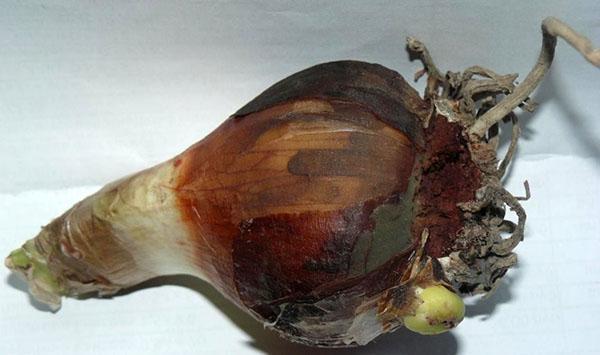 лечение гнили луковицы гиппеаструма