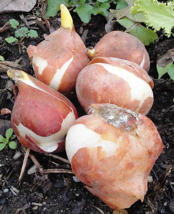 луковицы необходимо срочно посадить