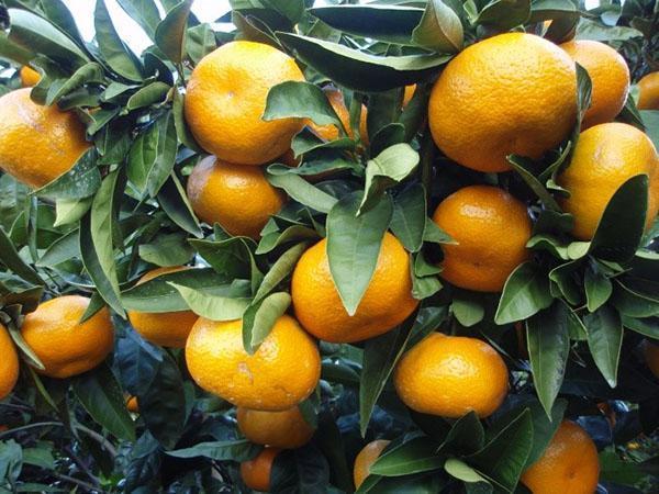 плодоносит комнатный мандарин