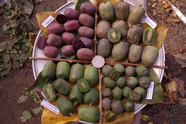 плоды актинидии разных сортов