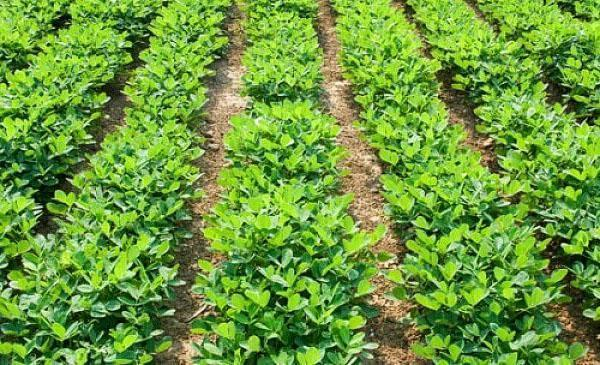 Что такое орех арахис выращивание 960