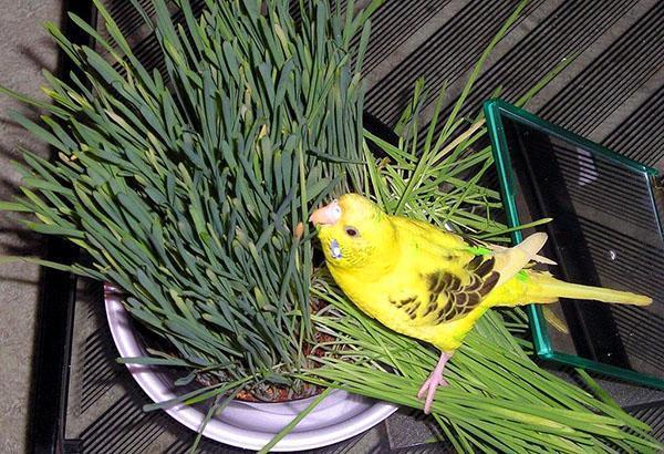 птица ест пророщенное зерно