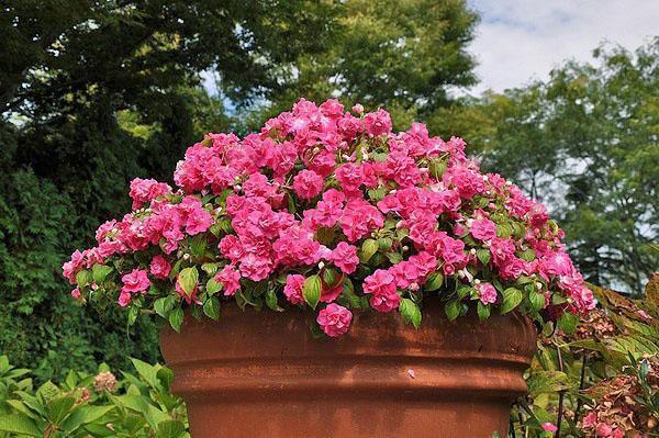 пышное цветение бальзамина