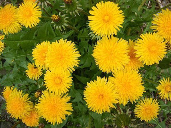 пышное цветение одуванчиков