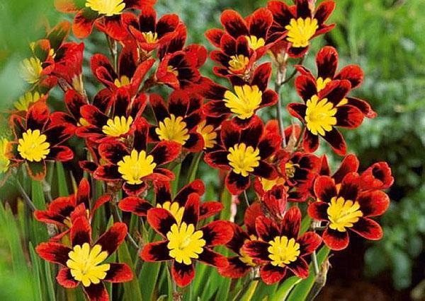 пышное цветение - результат хорошего ухода