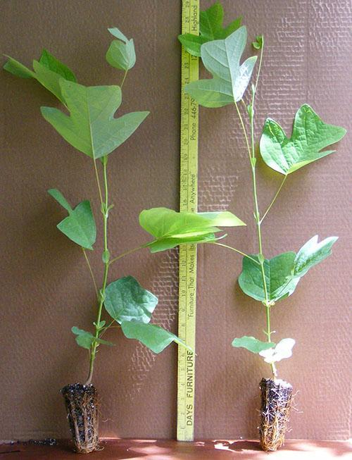 развитие саженцев тюльпанового дерева