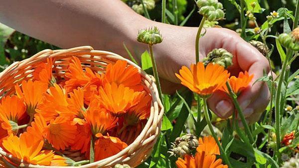 сбор цветов календулы