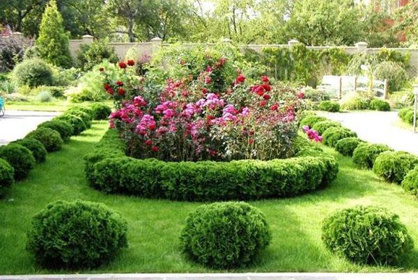 сочетание шаровидных туй с другими растениями
