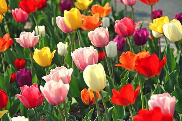 тюльпаны разных сортов