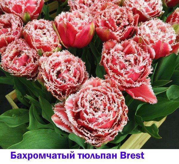 Бахромчатый тюльпан Brest