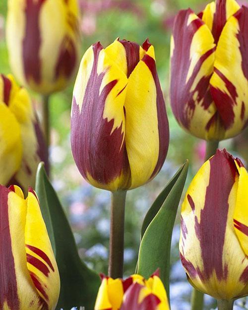 Тюльпан с закрепленной пестролистностью