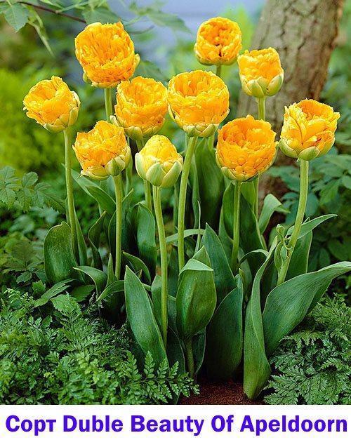 Тюльпан Double Beauty Of Apeldoorn