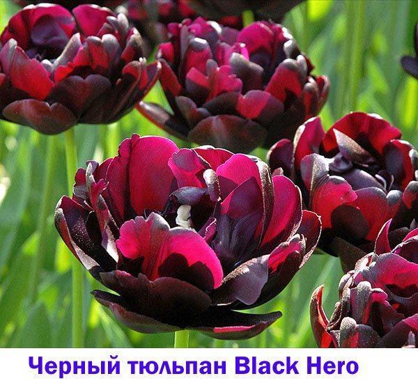 Черный тюльпан Black Hero