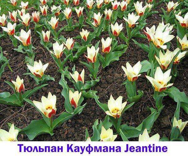 Тюльпан Кауфмана Jeantine