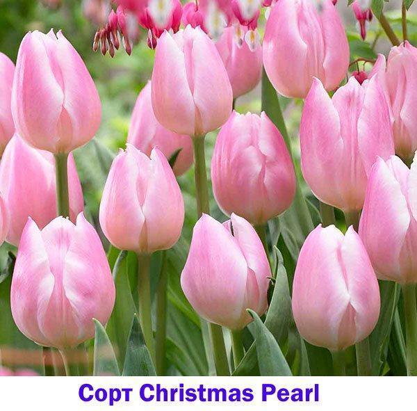 Розовый тюльпан Christmas Pearl