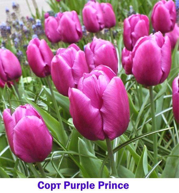 Тюльпан раннего срока цветения Purple Prince
