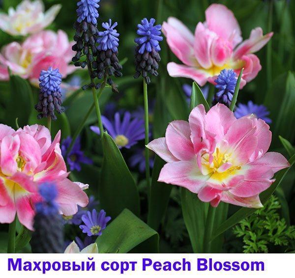 Ранний махровый тюльпан Peach Blossom