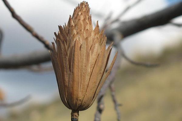 созревают семена тюльпанового дерева