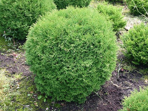 туя Тини Тим в саду