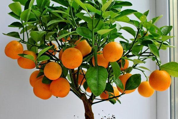 уход за комнатным мандарином