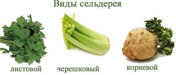 листовой сельдерей_черешковый сельдерей_корневой сельдерей