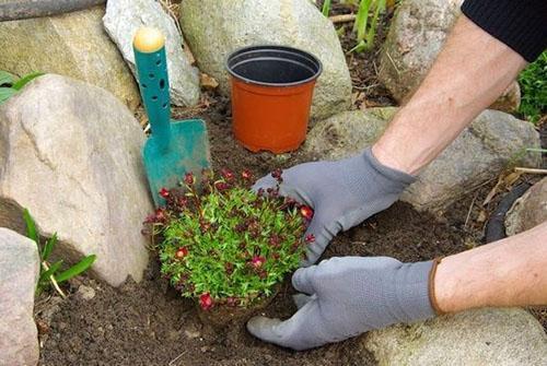 высадка камнеломки в открытый грунт