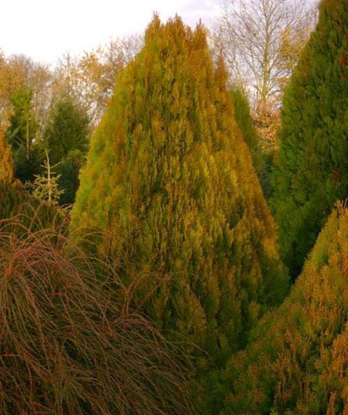 взрослое дерево туи восточной