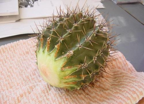 черенок кактуса