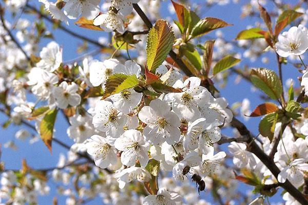 цветет вишня сорта Жуковская