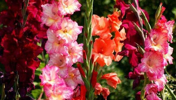 цветут гладиолусы в Сибири