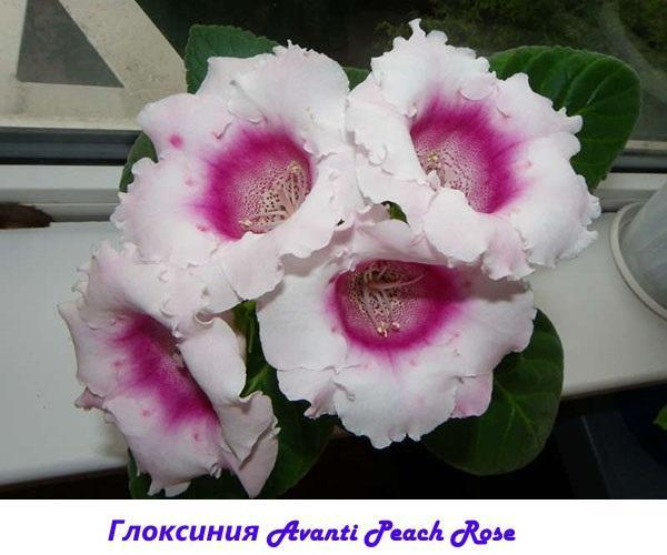 Глоксиния Avanti Peach Rose