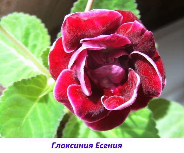 глоксиния Есения