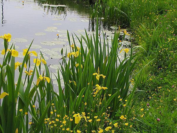ирис болотный на водоеме