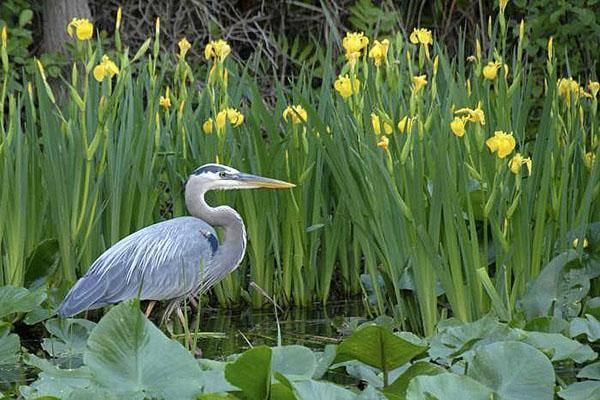 ирис болотный фото и описание