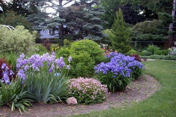 ирисы в садовых композициях