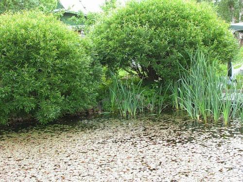 ива шаровидная карликовая у пруда