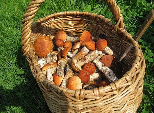 собранные в лесу грибы