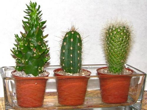 кактусы в поддоне
