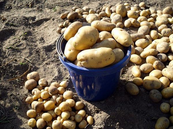 картофель на хранение