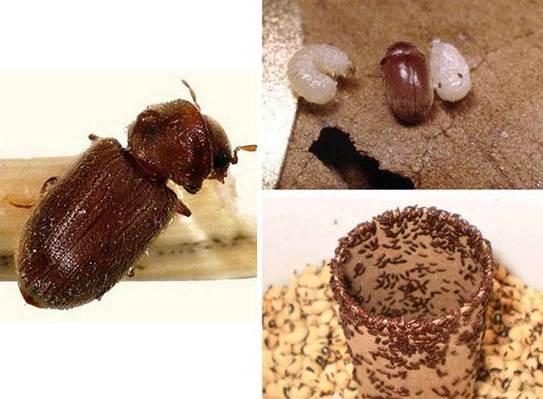 хлебный жук точильщик