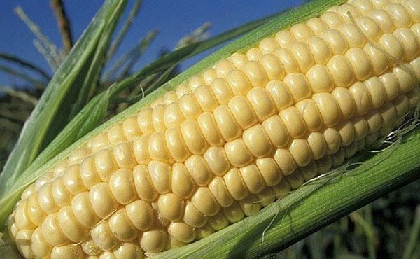 Кукуруза - стадии созревания, когда лучше есть, время заготовки, видео