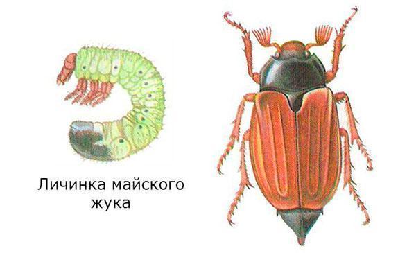 личинка и взрослая особь майского жука