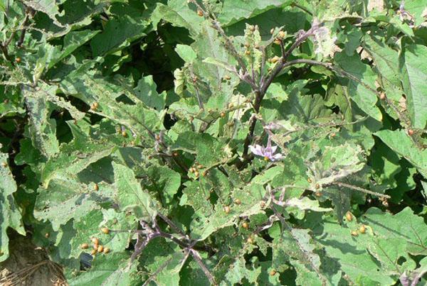 личинки колорадского жука на картошке
