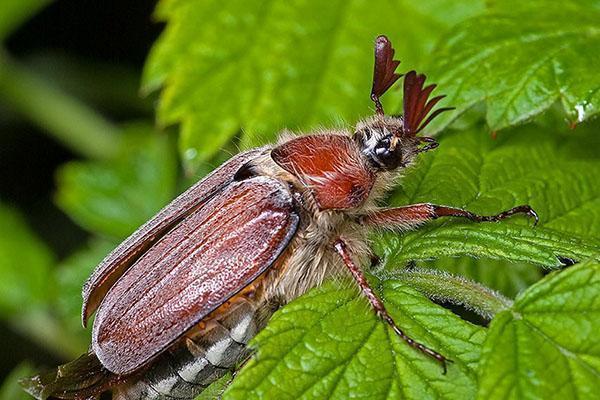 майский жук на огороде